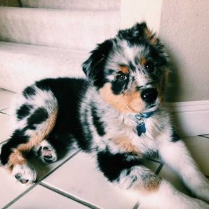 australian-shepherd-dog-breed-information-25