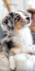 australian-shepherd-dog-breed-information-26