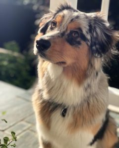 australian-shepherd-dog-breed-information-27