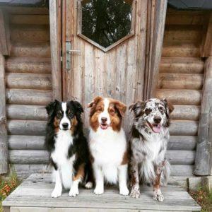 australian-shepherd-dog-breed-information-29