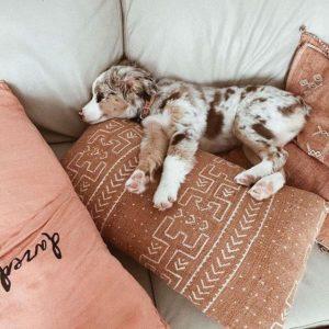 australian-shepherd-dog-breed-information-3