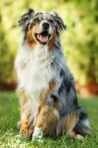 australian-shepherd-dog-breed-information-4