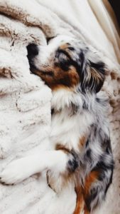 australian-shepherd-dog-breed-information-6