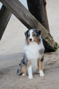 australian-shepherd-dog-breed-information-7