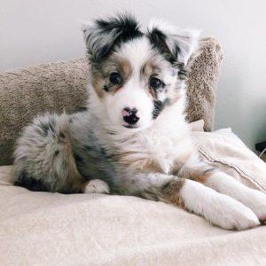 australian-shepherd-dog-breed-information-8