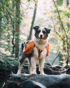 australian-shepherd-dog-breed-information-9