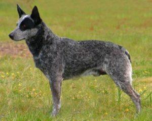 australian-stump-tail-cattle-dog-dog-breed-information-11