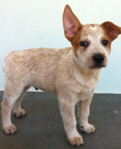 australian-stump-tail-cattle-dog-dog-breed-information-12