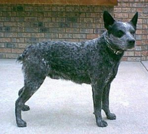 australian-stump-tail-cattle-dog-dog-breed-information-17