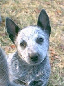 australian-stump-tail-cattle-dog-dog-breed-information-18