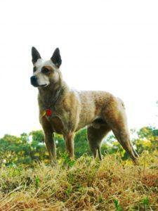 australian-stump-tail-cattle-dog-dog-breed-information-2