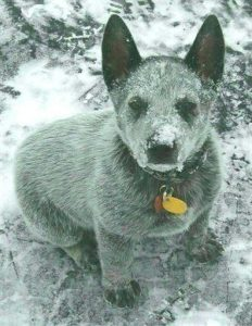 australian-stump-tail-cattle-dog-dog-breed-information-21