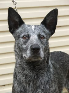 australian-stump-tail-cattle-dog-dog-breed-information-23