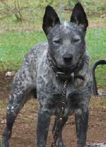 australian-stump-tail-cattle-dog-dog-breed-information-24