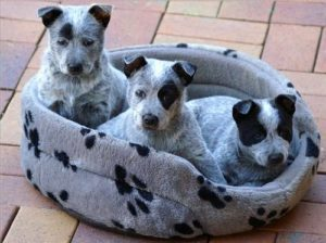 australian-stump-tail-cattle-dog-dog-breed-information-25