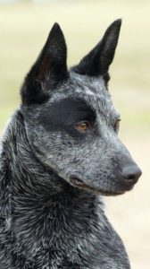 australian-stump-tail-cattle-dog-dog-breed-information-28