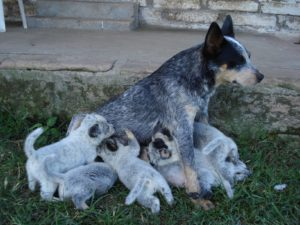 australian-stump-tail-cattle-dog-dog-breed-information-3