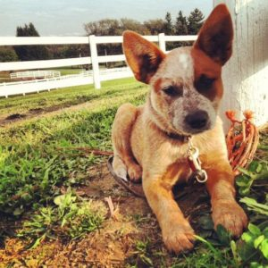 australian-stump-tail-cattle-dog-dog-breed-information-4
