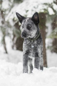 australian-stump-tail-cattle-dog-dog-breed-information-5