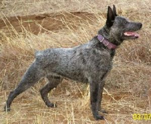 australian-stump-tail-cattle-dog-dog-breed-information-6