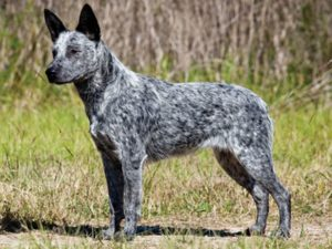 australian-stump-tail-cattle-dog-dog-breed-information-7