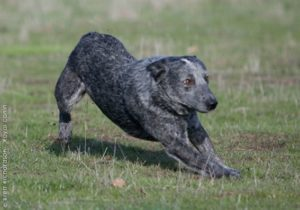 australian-stump-tail-cattle-dog-dog-breed-information-9