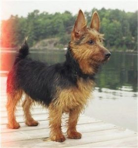 australian-terrier-dog-breed-information-1
