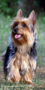 australian-terrier-dog-breed-information-10