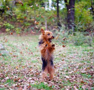 australian-terrier-dog-breed-information-11