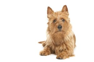 australian-terrier-dog-breed-information-12