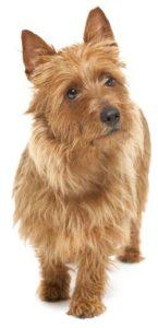 australian-terrier-dog-breed-information-13