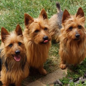 australian-terrier-dog-breed-information-14