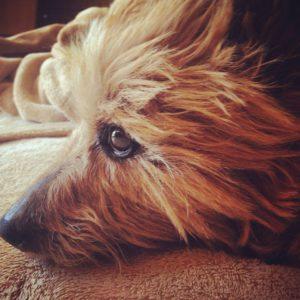 australian-terrier-dog-breed-information-15