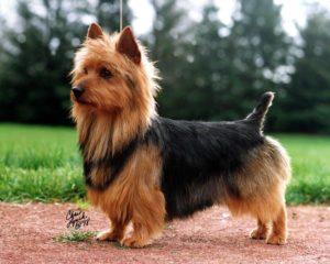 australian-terrier-dog-breed-information-16