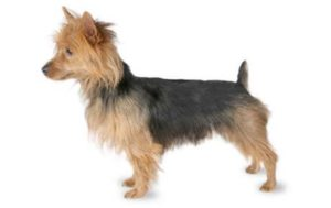 australian-terrier-dog-breed-information-17