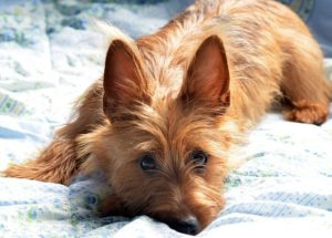 australian-terrier-dog-breed-information-18