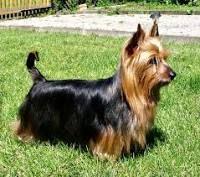 australian-terrier-dog-breed-information-19