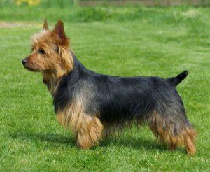 australian-terrier-dog-breed-information-2