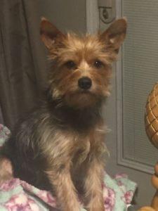 australian-terrier-dog-breed-information-20