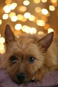 australian-terrier-dog-breed-information-21