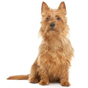 australian-terrier-dog-breed-information-24