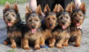 australian-terrier-dog-breed-information-3