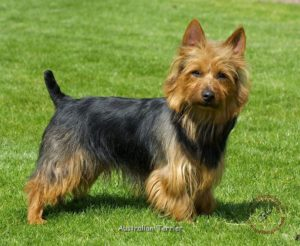 australian-terrier-dog-breed-information-4