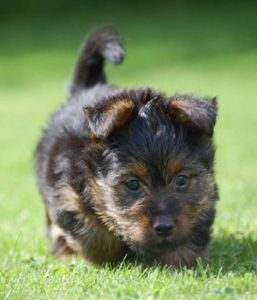 australian-terrier-dog-breed-information-5