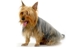 australian-terrier-dog-breed-information-6