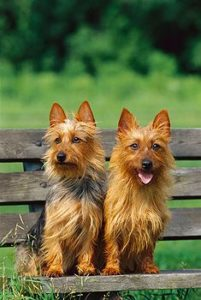 australian-terrier-dog-breed-information-7