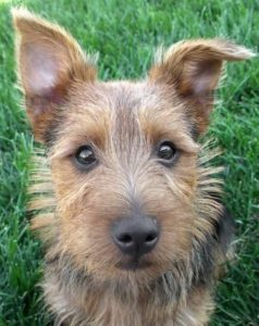 australian-terrier-dog-breed-information-8