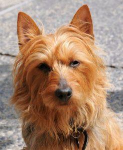 australian-terrier-dog-breed-information-9