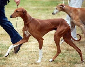 azawakh-dog-breed-information-12