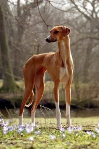 azawakh-dog-breed-information-13